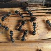 Carpenter Ants In Your House