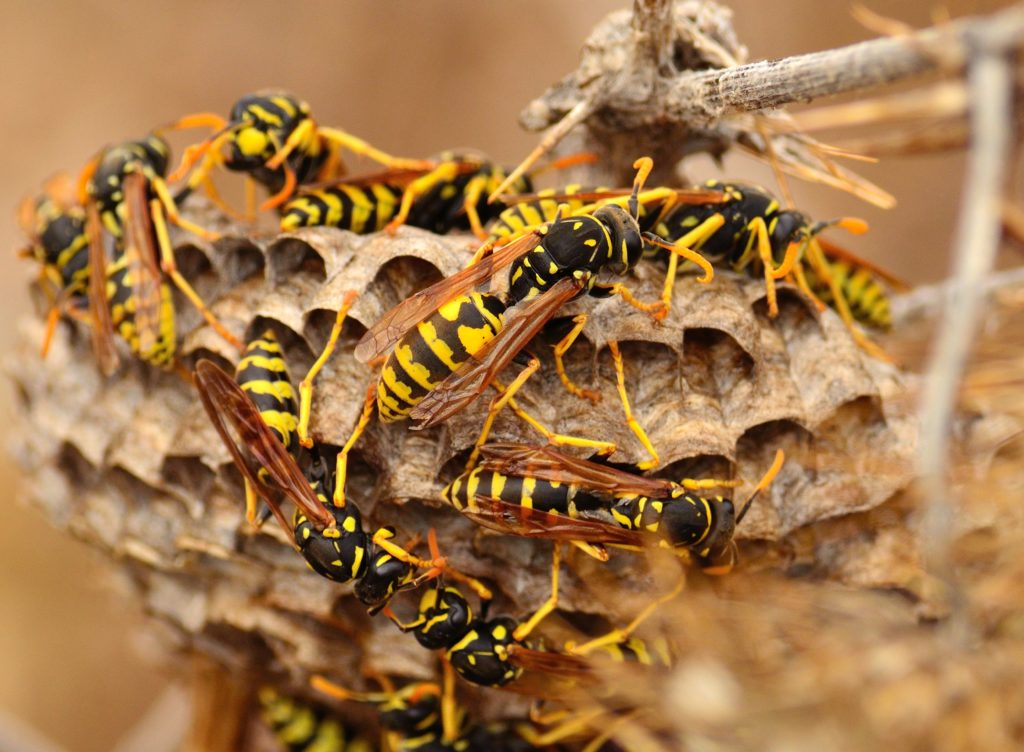 The Dangers Of Wasps Chiltons Pest Control Springfield Mo